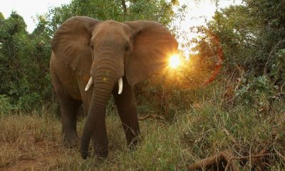 Suspected poacher trampled to death by elephant in South Africa